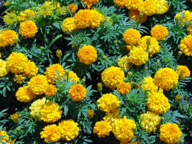 Fleur marigold ou calendula planter en octobre - Quel arbuste planter en octobre ...
