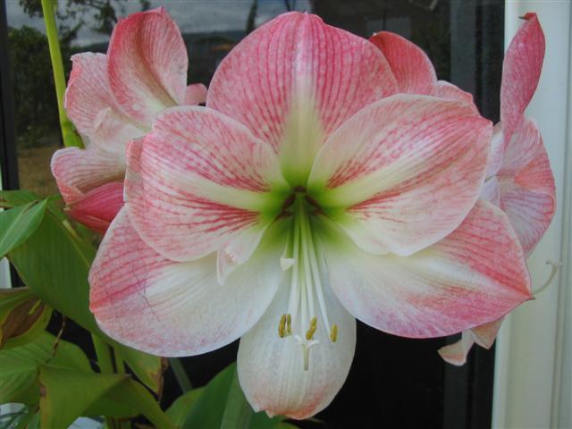Conseils de v g tation des amaryllis id es sur les fleurs for Arrosage amaryllis