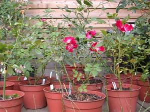 Comment planter les rosiers dans un jardin for Comment arroser un rosier en pot