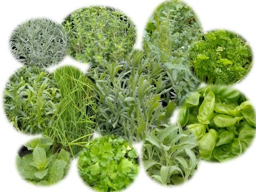 plantes aromatiques et condimentaires vivaces et annuelles dans un jardin. Black Bedroom Furniture Sets. Home Design Ideas