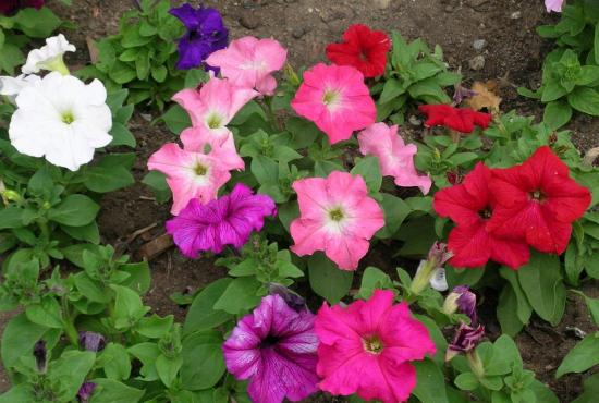 Plantation et entretien des fleurs annuelles dans un jardin for Fleurs dans un jardin