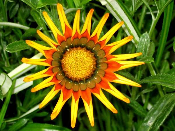 Fleurs du soleil souci gazania et illet d 39 inde for Plante d interieur plein soleil