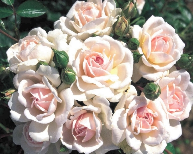 les roses parfum es et rosiers botaniques. Black Bedroom Furniture Sets. Home Design Ideas